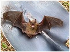 bat on shovel preparing to be launched into flight