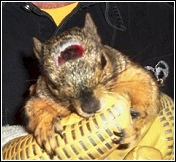 squirrel with live trap injury on head