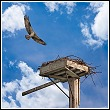 osprey landing on man made nest