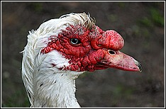 Muscovy Duck Control