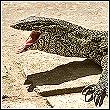 hissing nile monitor