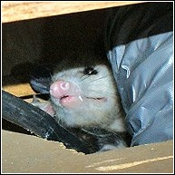 close up of an opossum setting up home under a stove