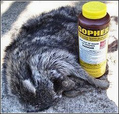 raccoon that died from secondary poisoning