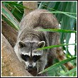 raccoon in florida palm tree