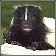 baby skunk rescued by skunk whisperer chris greenlie