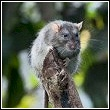high dwelling roof rat in tree