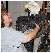 wildlife rehabilitator annette king working with eagle that was a victim of secondary poisoning