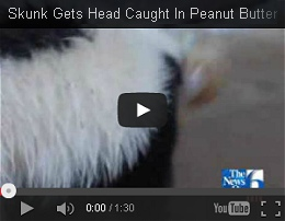 the original news story video about the skunk with the peanut butter jar stuck on his head