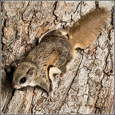 a nocturnal southern flying squirrel on tree