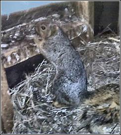 squirrel in attic sitting on top of a 6 foot high birds nest