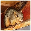 squirrel in attic
