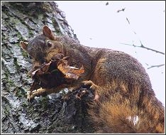 squirrel climbing tree with nesting material