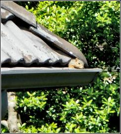 squirrel peeking out from under a roof