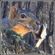 squirrel with nesting material headed for an attic