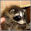 raccoon being removed from a fireplace in edmond, oklahoma