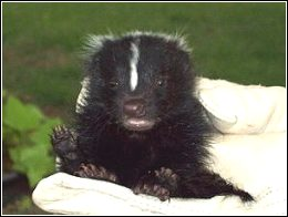 the skunk whisperer holding a baby skunk he has just removed from a home