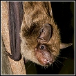 a big brown bat, and a type of bat found in Florida