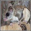 closeup view of a flying squirrel