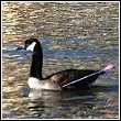 goose shot by arrow
