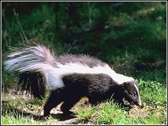 skunk walking around that homeowner's would like to get rid of