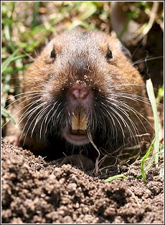 Fun Mole And Gopher Facts