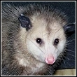 close up view of an opossum