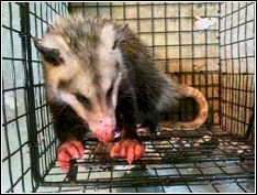 trapping injury recieved by opossum during the trap and relocate process