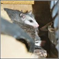 Opossums - The Wildlife Whisperer