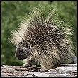 porcupine on log