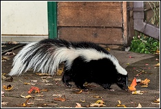 Skunk And Dead Animal Smell Removal Services