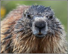 close up view of a groundhog