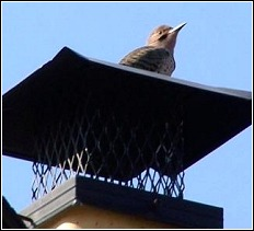 woodpecker on top of chimney cap