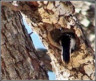 woodpecker going into the hole he has just created in the now damaged tree